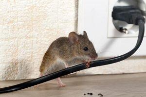 Maus klettert auf Elektrokabel
