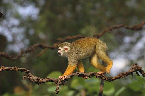 Meerkatze klettert