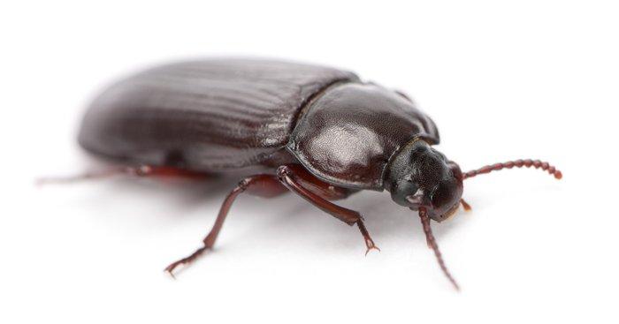 schwarze käfer im haus