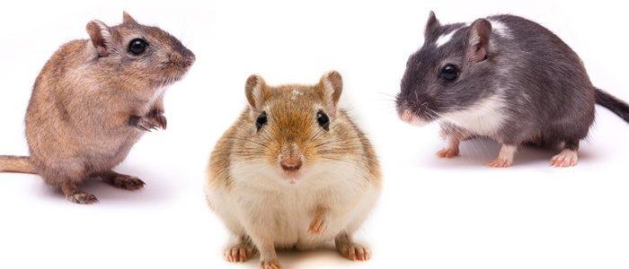 Maus Alles Zur Haltung Der Kleinen Nager Als Haustier Das Tierlexikon