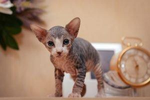 sphynx katzenbaby auf schrank in wohnung
