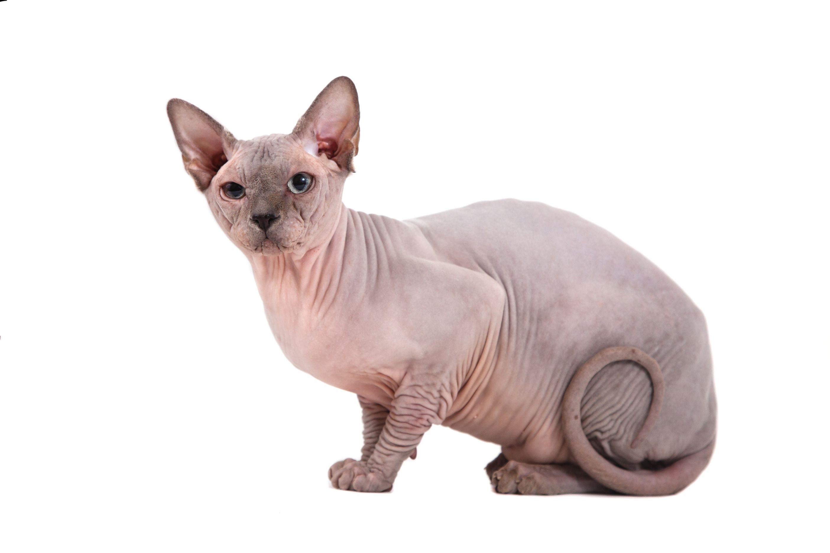 Nackthaar Katzenrassen Nacktkatze