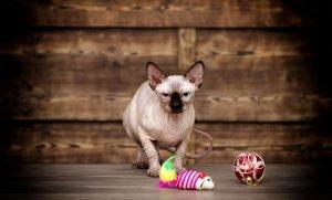 sphynx katze vor holzwand mit katzenspielzeug