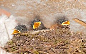 drei jungvögel im nest