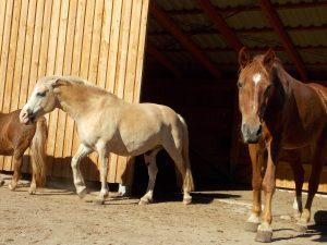 offenstall mit freibergern und anderen pferden