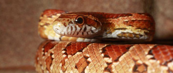 Kornnatter Schlange Pantheropis guttatus