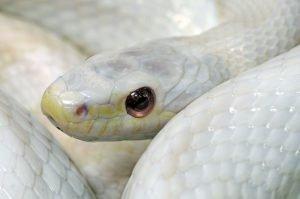 albino kornnatter nahansicht