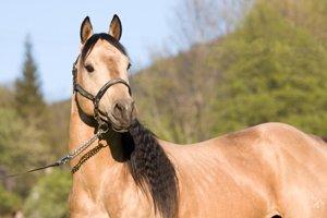 quarter horse hengst guckt aufmerksam