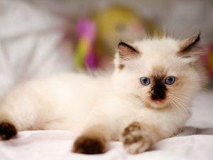 Ragdoll Kätzchen liegt