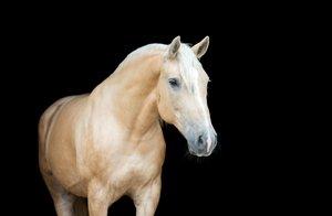 schönes palomino quarter horse auf schwarzem grund