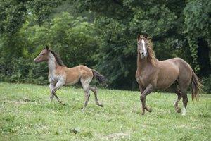 quarter horse stute mit fohlen auf wiese