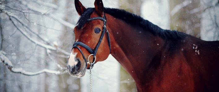 Pferd mit Trense im Winterwald