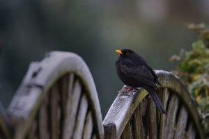 amsel singt singvögel