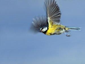 blaumeise fliegt