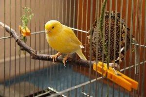 kananenvogel gelb käfig