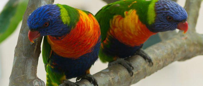 zwei Allfarblories auf Baum