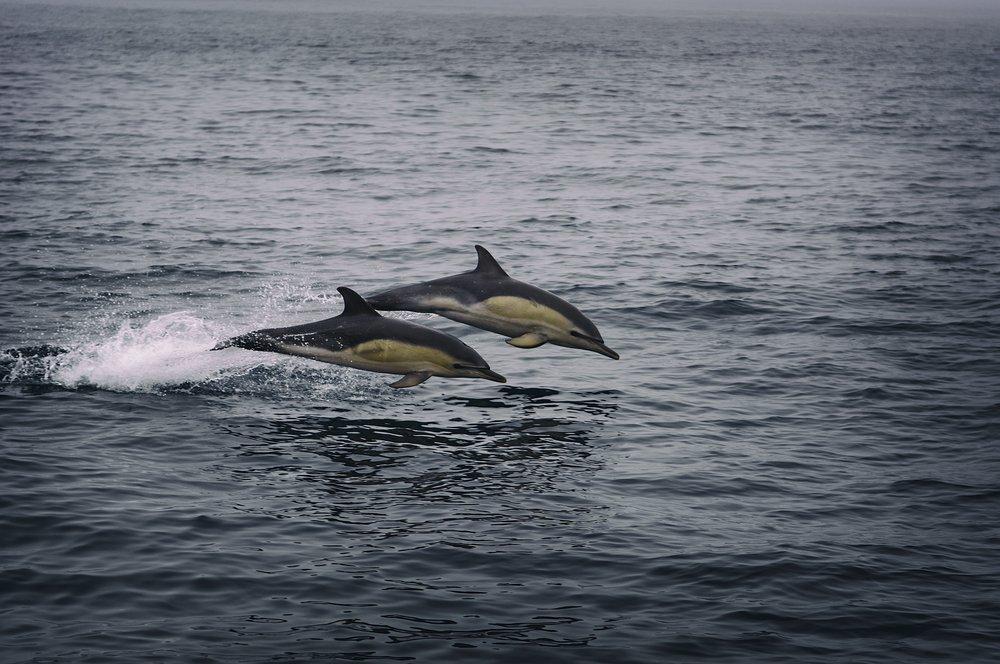 Atlantischer Weißseitendelfin