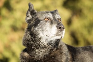 alter hund guckt aufmerksam