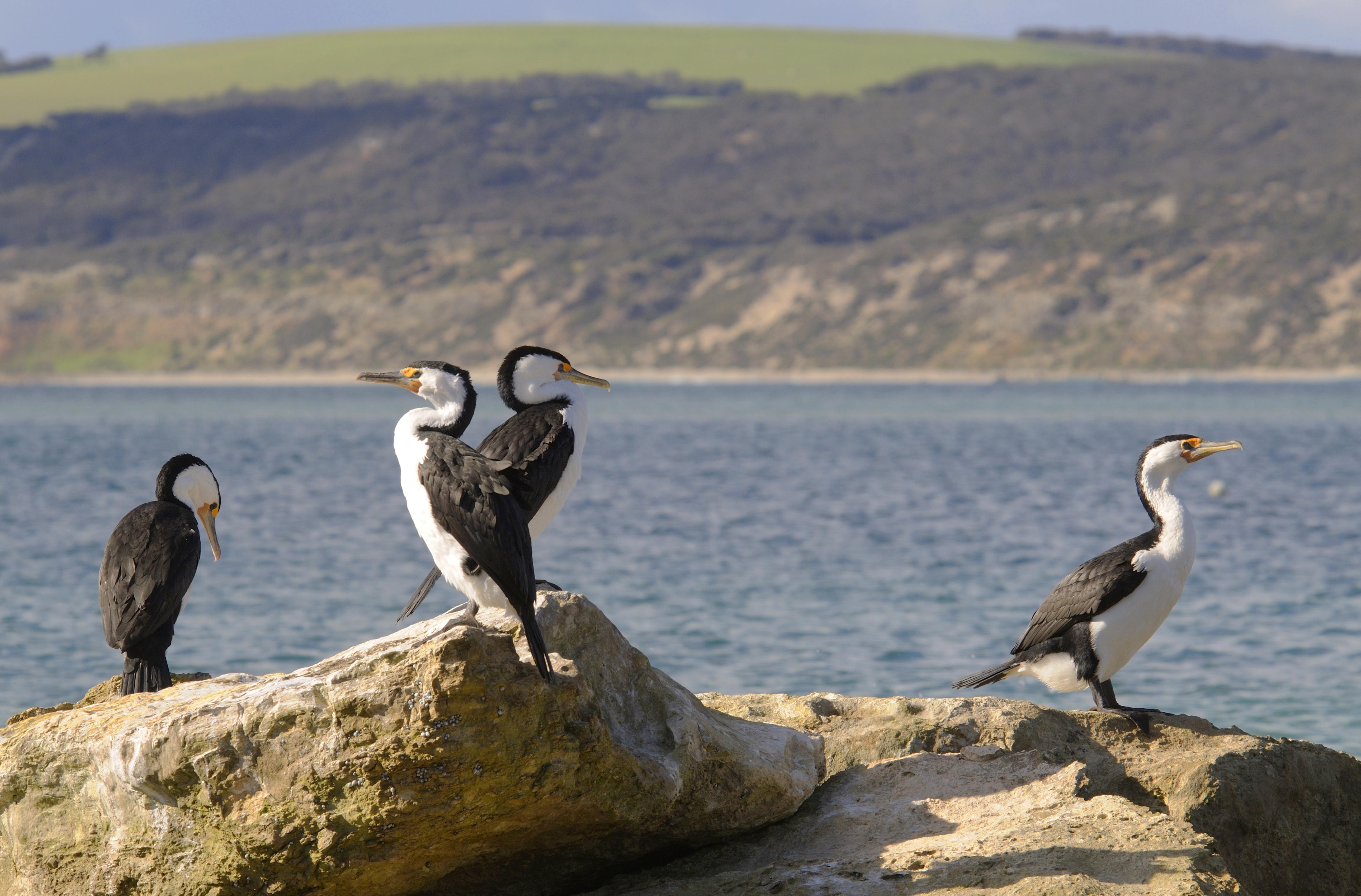 Australische Zwergscharben auf Felsen an der Küste