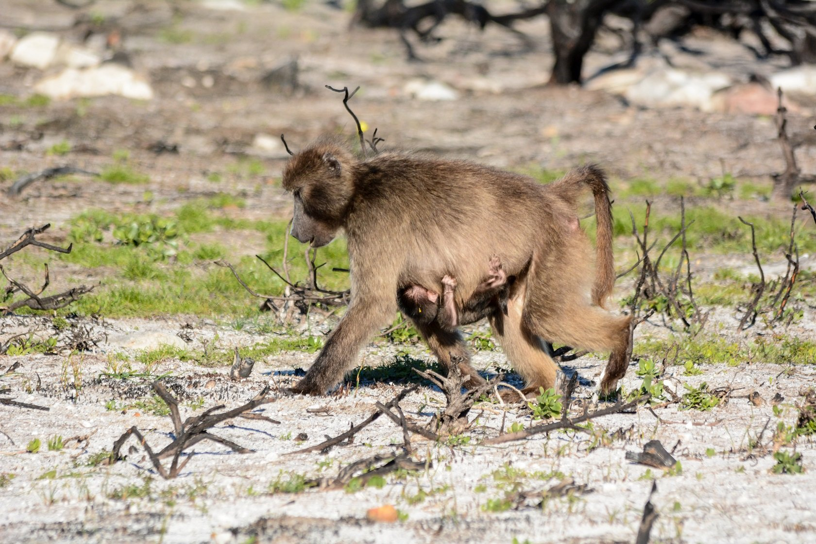Bärenpavian mit Baby