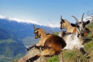 Bergziegen Südtirol