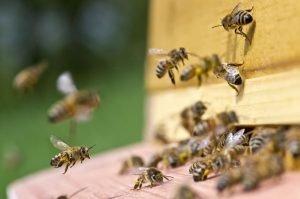Arbeiterinnen fliegen zurück in den Bienenstock