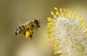 Biene mit Pollen an den Beinen neben Blüte