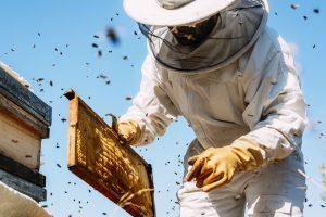 Imker in Schutzanzug sammelt Honig ein