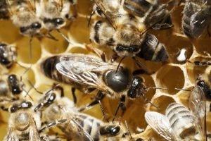 Bienenkönigin umgeben von Ammen im Bienenstock