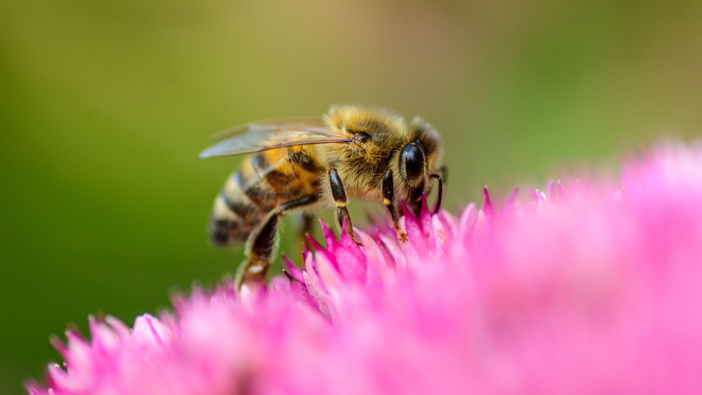 Honigbiene Blüte