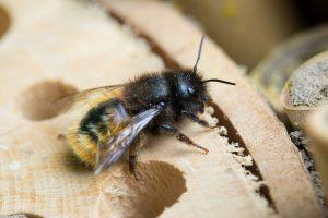 gehörnte Mauerbiene Wildbiene