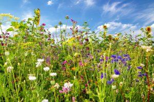 verschiedene bienenfreundliche Wildblumen