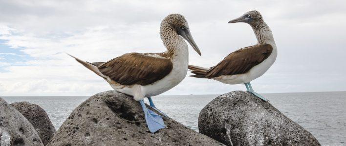 Zwei Blaufußtölpel an der Küste