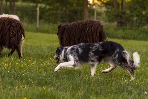 Border Collie in merle als Schäferhund