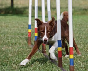 Border Collie Kurzhaar Agility
