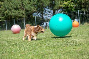 Border Collie Mix spielt mit Treibball am Hundeabrichteplatz