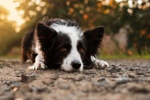 Border Collie liegend