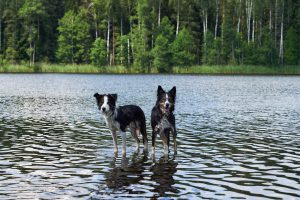 zwei Border Collies in einem See