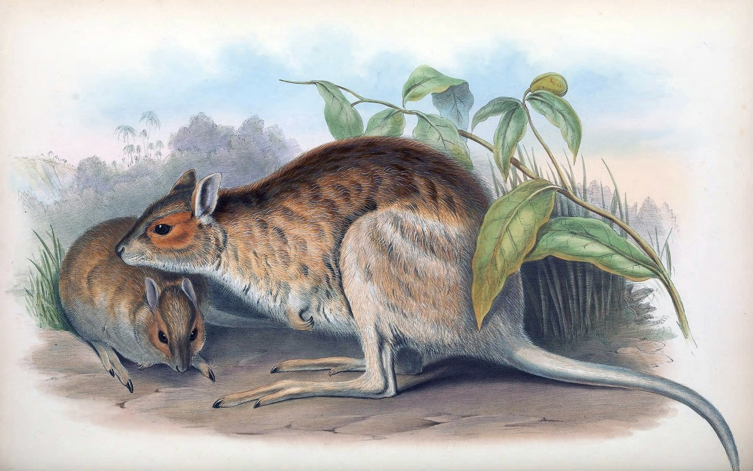 Brillen Hasenkänguru Illustration