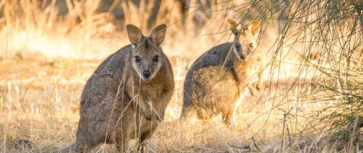 Derbywallaby