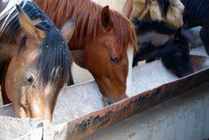 Pferde fressen aus einem Trog
