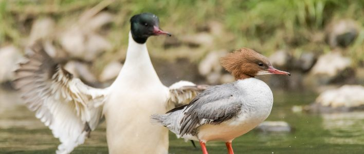 Gänsesäger Paar im Teich
