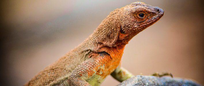 Galapagos Lavaeidechse