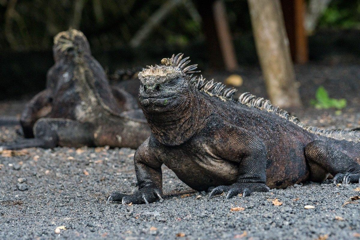 Galapagos Meerechse