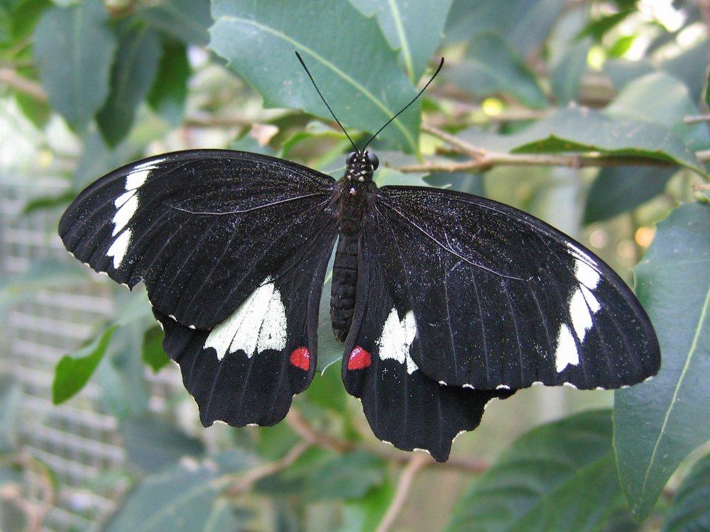 Garten-Schwalbenschwanz Männchen