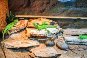 Terrarium mit grünen Geckos
