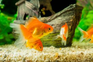 goldfische aquarium schwarm