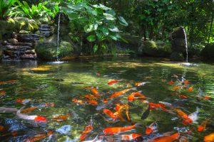 goldfische im gartenteich
