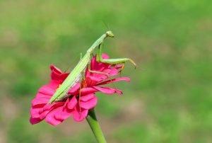 Gottesanbeterin auf Blüte