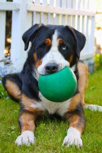 Großer Schweizer Sennenhund spielt mit Ball